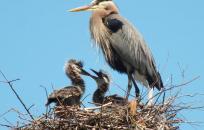 image Pawtuckaway Herons