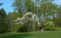 image Dog wood tree