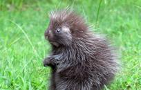 image porcupine