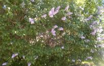 Lilacs (Steve Soreff)