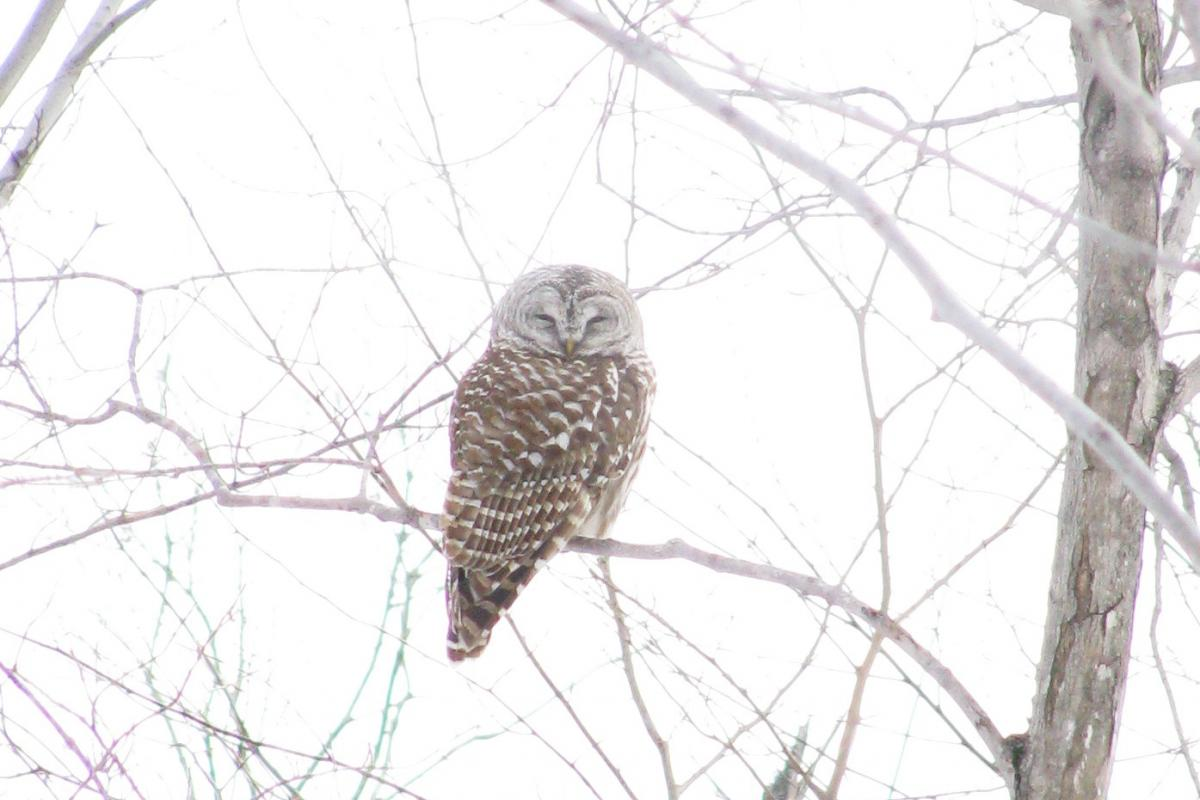 group of barred owl