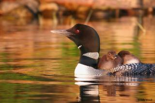 Photo of Loons